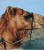 Camel Study, Dubai